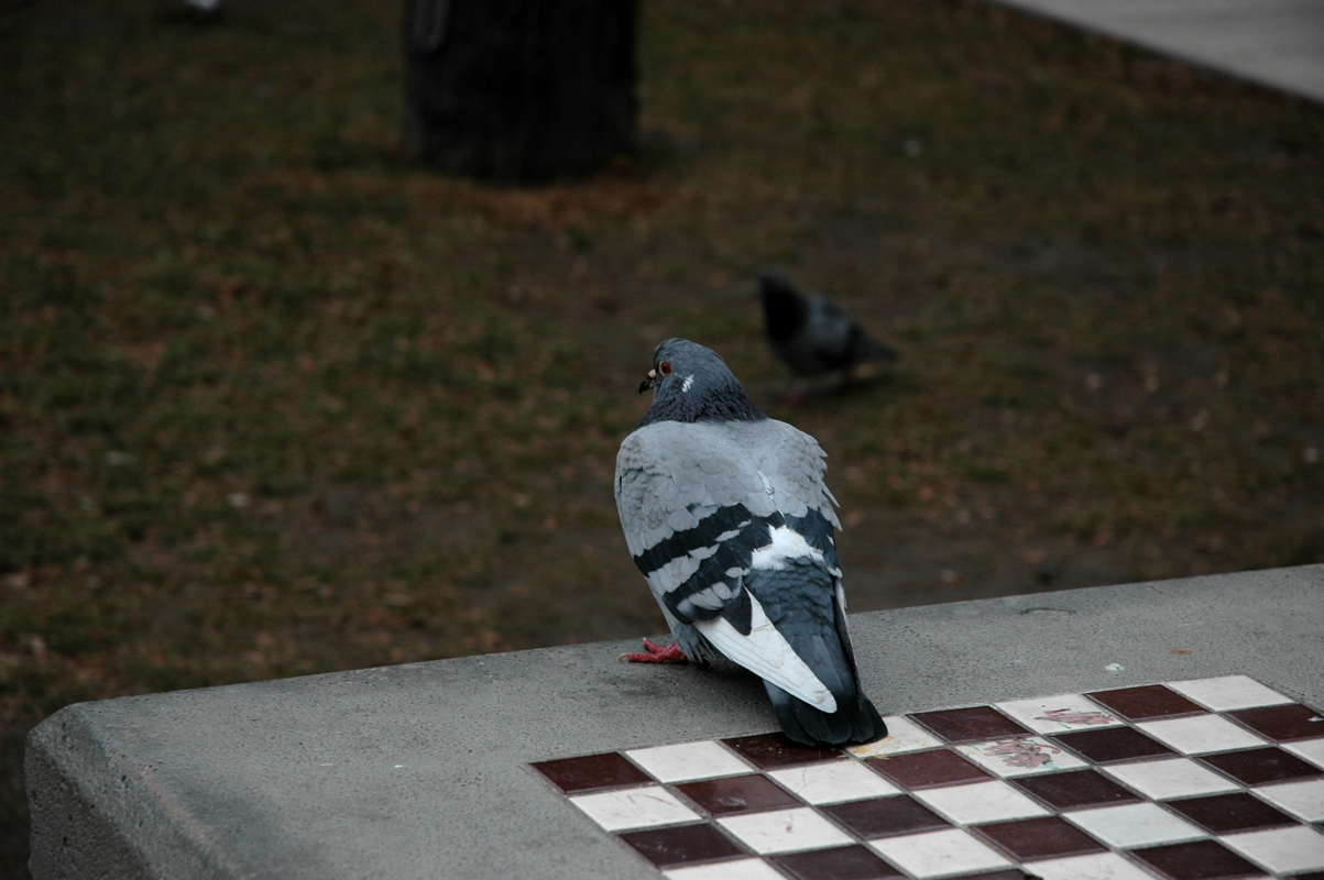 the_pigeon_and_the_chess_game_by_kebbige
